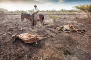 Mikol Antonio Hernández García, cowboy, inspects the dry carcasses of cattle that has died in the drought in San Francisco Libre, Nicaragua. The drought is affecting large areas of Central America. Across Nicaragua hundreds of cattle are dying, wells are drying up and the harvests have failed. Climate change is believed to be responsible for the drought.